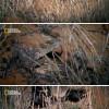 살무사도 죽이는 오소리와 표범의 싸움.jpegif