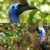 호주에서 조심해야 하는 새