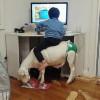 책뜯어먹는 팬티입은 염소등에 앉아 컴퓨터 하는 짤