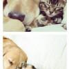 고양이랑 골든 리트리버